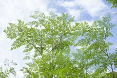 Usines de Moringa - moringa oleifera Image libre de droits