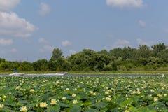 Usines de nénuphar sur des bateaux de Carter Lake Iowa Motor se croisant image stock