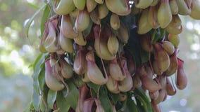 Usines de Nepenthes ou de broc tropical ou tasses de singe pour la conception d'agriculture clips vidéos