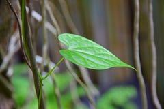Usines de plante grimpante Image libre de droits