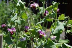 Usines de pois de décorticage fleuries pourpres au printemps photographie stock