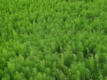 Usines de queue de cheval de champ (arvense d'Equisetum) Photo stock