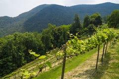 Usines de raisins de vigne s'élevant dans la région de Piémont Photos stock