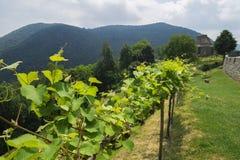 Usines de raisins de vigne s'élevant dans la région de Piémont Photo stock