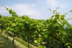 Usines de raisins de vigne s'élevant dans la région de Piémont Photos libres de droits