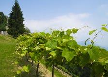 Usines de raisins de vigne s'élevant dans la région de Piémont Images stock