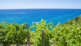 Usines de raisins de vigne sur la côte méditerranéenne Photos stock