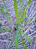 Usines de riz dans mes domaines photographie stock