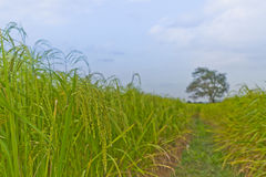 Usines de riz en Paddy Field Image libre de droits