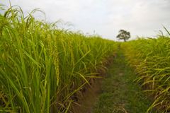 Usines de riz en Paddy Field Image stock