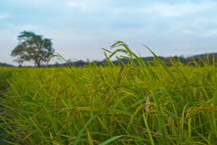 Usines de riz en Paddy Field Photographie stock libre de droits