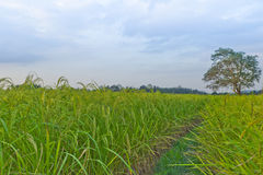 Usines de riz en Paddy Field Images libres de droits