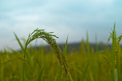 Usines de riz en Paddy Field Images stock