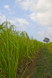 Usines de riz en Paddy Field Photos stock