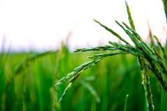 Usines de riz grandissant sur le champ, sembler frais et beaux Photographie stock libre de droits