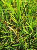 Usines de riz qui moissonneront l'image photo stock