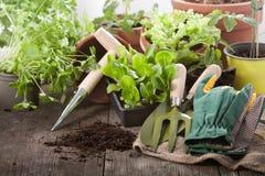 Usines de salade Images libres de droits