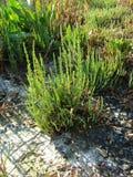 Usines de Salicornia en Mer Adriatique photographie stock libre de droits