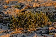 Usines de Samphire sur la plage de roche Image stock