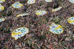 Usines de sempervirens d'Iberis à la jardinerie de De Bosrand dans Wassenaar, Pays-Bas Photos libres de droits