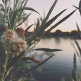 Usines de soirée d'été par l'étang Photos stock