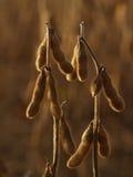 Usines de soja contre éclairées en automne, crépuscule Image libre de droits