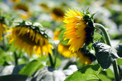 Usines de tournesols Images libres de droits
