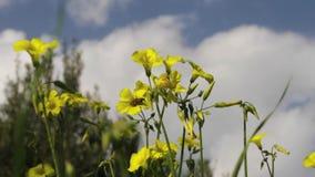 Usines de trèfle fleurissant avec le ciel et les nuages banque de vidéos