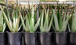 Usines de Vera d'aloès dans des pots sur les étagères aux floralies de ressort photographie stock libre de droits