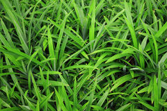 Usines de vert de feuille de Pandan petites Photo stock