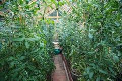 Usines des tomates Images libres de droits