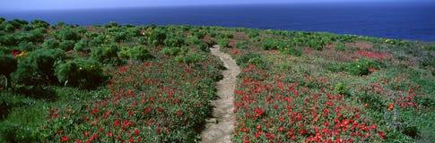 Usines et Coreopsis de glace dans le printemps, Îles Anglo-Normandes, la Californie Image stock
