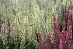 Usines fleurissantes de bruyère Image libre de droits