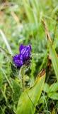 Usines fleurissantes de gentiane de saule Images libres de droits