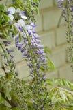 Usines fleurissantes de glycine sur le fond de mur de maison photographie stock libre de droits