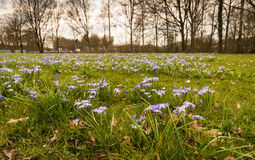 Usines fleurissantes pourpres de Scilla s'élevant entre l'herbe Images libres de droits