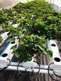 Usines hydroponiques dans la ferme Photos libres de droits
