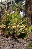 60 01 usines jaunes canari typiques, cactus, figue de Barbarie Image libre de droits