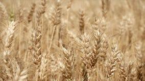 Usines jaunes de blé ondulant dans le vent banque de vidéos