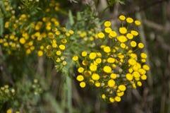 Usines jaunes de tansy Photo stock