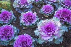 Usines ornementales pourpres de chou dans le pot de fleur chez Doi Angkhang r images libres de droits