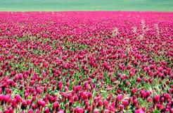 Usines rouges de floraison stupéfiantes dans le vaste domaine Images libres de droits