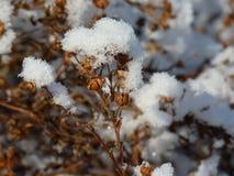 Usines sèches admirablement couvertes de neige Photographie stock libre de droits