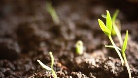 Usines s'élevant dans le timelapse de sprigtime de groung Graines de germination de Germitating Concept d'évolution, nouveau cycl banque de vidéos
