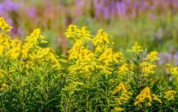 Usines sauvages fleurissantes colorées dans l'été photos stock