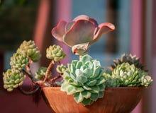 Usines succulentes dans un pot fait d'argile utilisé comme décoration dans un jardin d'hiver images libres de droits