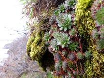 Usines succulentes sauvages image libre de droits