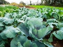 Usines végétales du chou photos libres de droits