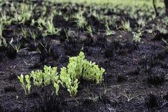 Usines vert clair se levant du champ brûlé de noir de lancement photo stock