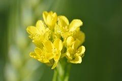 Usines vertes de moutarde avec leurs fleurs jaunes photographie stock libre de droits